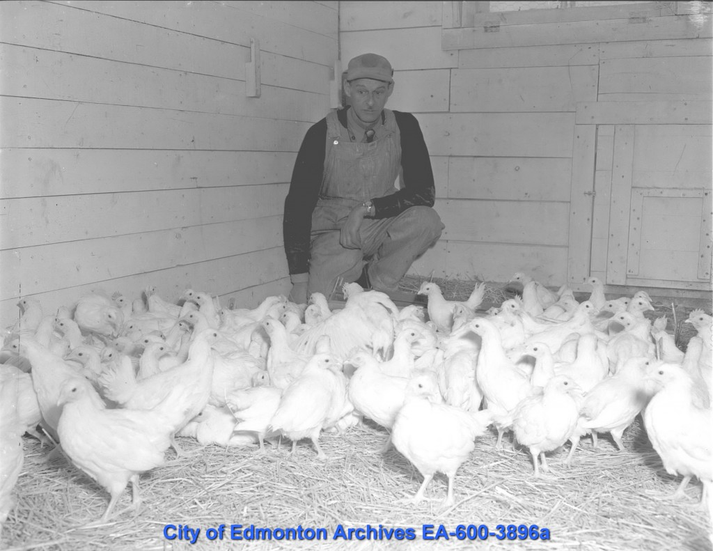 "EA-600-3896a ""Bryan Studdard tends to U of A chicken farm"" February 20, 1950. A great candidate for a caption contest! Like: ""Man Bemused by Albino Chickens."" If you think of a good caption, put it in the comments!"